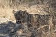 Leonessa al parco Kruger Sudafrica