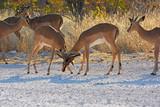 Schwarznasen-Impala (Aepyceros melampus petersi) im Etosha Nationalpark (Namibia) - 218202660