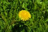 dandelion, Taraxacum, blowball,  flower, yellow, nature, grass, spring, green, summer, plant, blossom, flora, macro, meadow, flowers, close-up, bloom, weed, beauty, beautiful, garden, season, floral