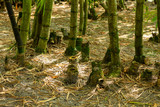 Bamboo stumps. multiple, in forest - Delray Beach, Florida, USA