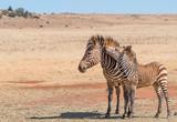Africa Safari Zebra and foul