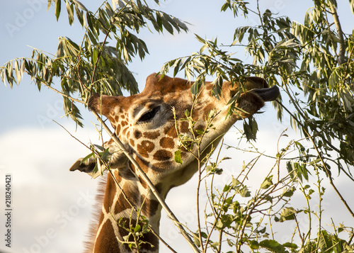 Plakat Giraffe eating leaves from a tree