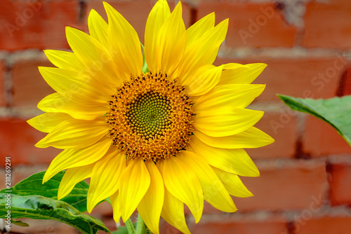 Plexiglas Geel Sunflower on a background of wall of red brick