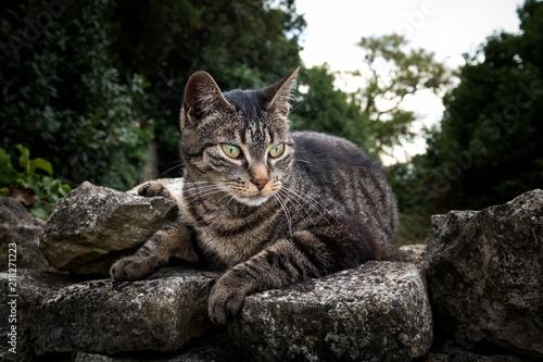 Chat gouttière commun animal compagnon ami fidèle muret mur pierre