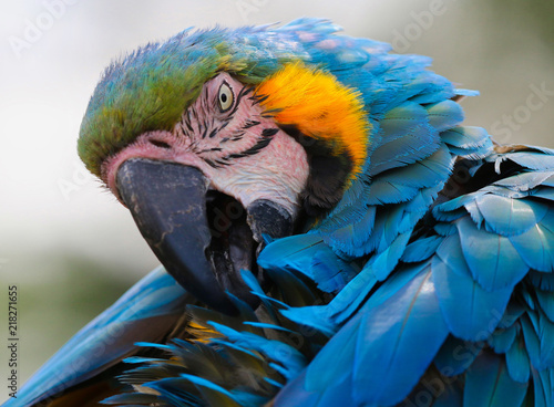 Aluminium Papegaai Macaw head portrait