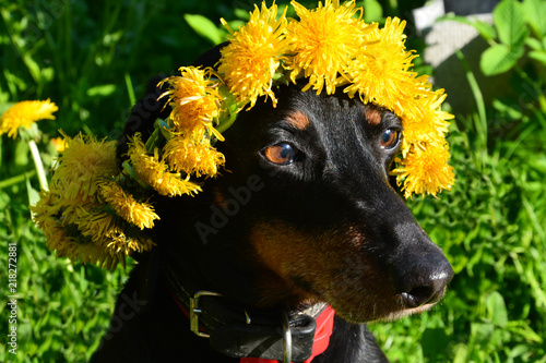 dachshund, dandelion, Taraxacum, blowball, spring, dog, pet, animal, rottweiler, puppy, cute, black, canine, brown, grass, nature, portrait, doberman, breed, mammal, dogs, purebred, pets, domestic - 218272881