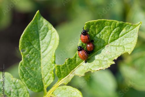 Foto Murales the red larva Colorado potato beetle devouring a luscious green leaf of the potato