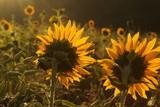 Sonnenblumen  - 218318024