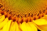 Close-Up Of Sunflower - 218320659