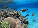 Colorful coral reef fishes of the Red Sea - 218329890