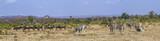 Plains zebra  and Blue wildebeest in Kruger National park, South Africa ; Specie Equus quagga burchellii and Connochaetes taurinus
