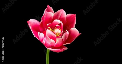 Time lapse of opening and closing pink Tulip on black background 4K