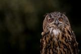 blinking owl  - 218351411