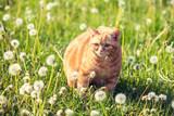 Portrait of a little kitten lying on the dandelion field. Cat enjoying spring