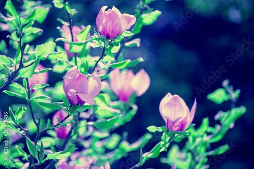 Fototapeta Blossoming magnolia flowers. Springtime. Natural flowers background