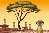 Meerkat living in dry land - 218363015