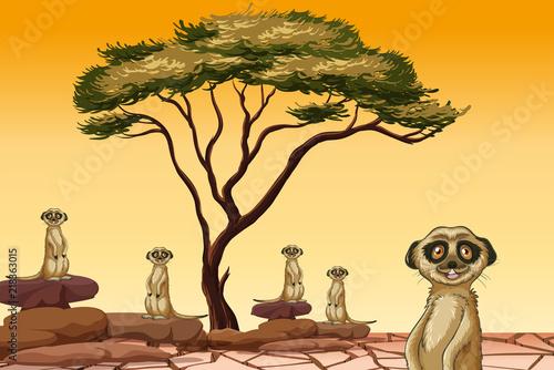 Meerkat living in dry land