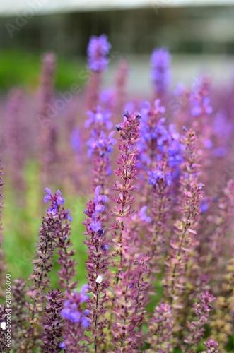 Foto Spatwand Lavendel lawenda