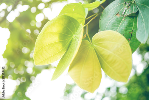 Green leaf soft focus with closeup in nature view on blurred greenery background in the garden with copy space use for design wallpaper concept. © Mingman Srilakorn