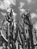 Tall Saguaro Cactus Plants Succulent in the Desert