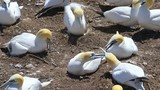 White Gannet bird neighbors closeup with beaks, bills open, arguing fighting screaming on Bonaventure Island cliff in Perce, Quebec, Canada, Gaspesie Peninsula - 218381696
