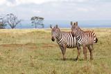 Pair of Plains Zebras standing next to each other on a gassy plain at Lake Nakuru National Park, Kenya