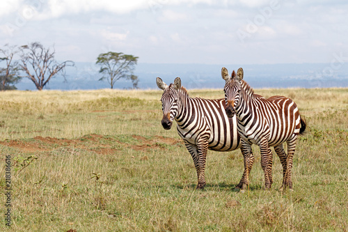 Pair of Plains Zebras standing next to each other on a gassy plain at Lake Nakuru National Park, Kenya