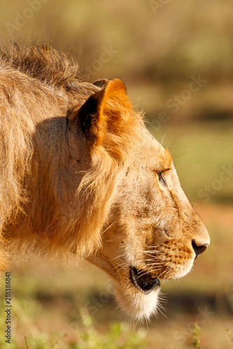 Closeup side profile of the face of a male lion with a small mane in the morning sunlight at Samburu National Reserve, Kenya