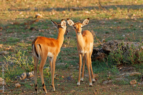 Two young impalas standing on grass in the morning sunlight with one looking at the camera