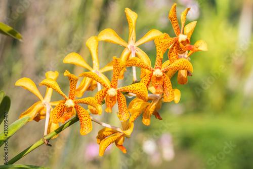 Yellow orchid, Mokara.