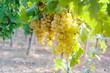 White grape in a wineyeard