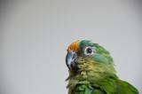 Fototapeta Rainbow - Zielona papuga © Kasia R.