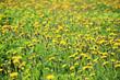 A dandelion meadow in spring season - 218417274