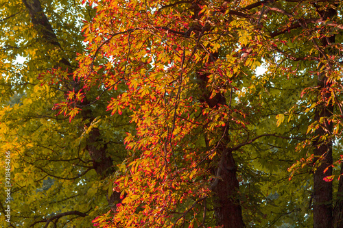 Dry chestnut leaves on a tree. Beginning of autumn. The leaves of the trees begin to turn yellow and dry. Dry autumn. Autumn leaves. © Andrii Chagovets