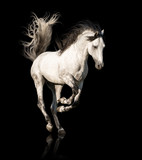 White Andalusian horse with black legs and mane galloping isolated on black background - 218464058