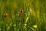 dwa pąki kwiatowe maku wsród zbóż i traw