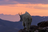 Mountain Goat at Sunset