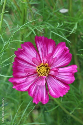 Schmuckkörbchen-Blüte in Pink Makro Cosmos