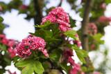 Hawthorn flowers - 218588481