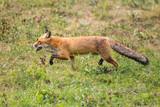 red fox (vulpes vulpes) walking in green grass - 218603080