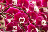 The group of pink orchid. background of pink orchid in garden.