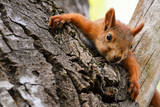 Young red Squirrel resting lying on a tree - 218619499