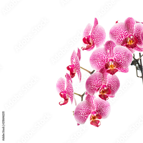 Orchid flower isolated white background - 218646201