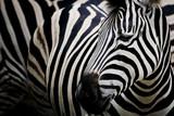 Zebra on dark background. Black and white image
