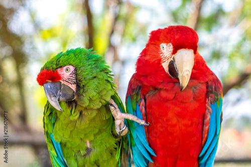 Fototapeta Two Macaws
