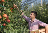 Farmer harvesting apples in orchard - 218675474