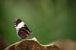 insecte papillon seul noir et blanc en gros plan sur fonds vert sur une feuille - 218677075