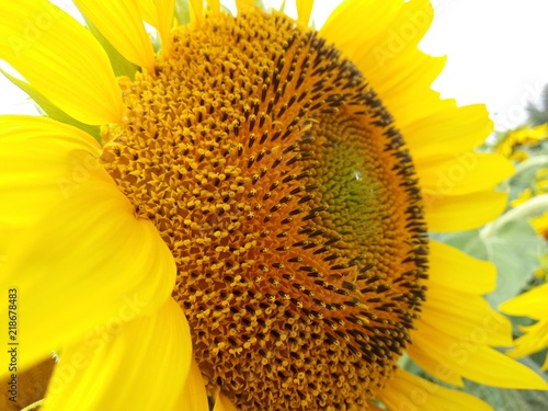 Plexiglas Geel Sunflowers grow on the field. The field is dotted with hem. Crop seeds, sunflower seeds ripen in the sun.