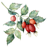 Watercolor dog rose branch. Hand painted rose hips with leaves isolated on white background. Botanical illustration for design, print or background. Floral clip art. - 218693664