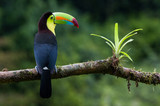 A perched keel billed toucan photographed in Costa Rica - 218710810